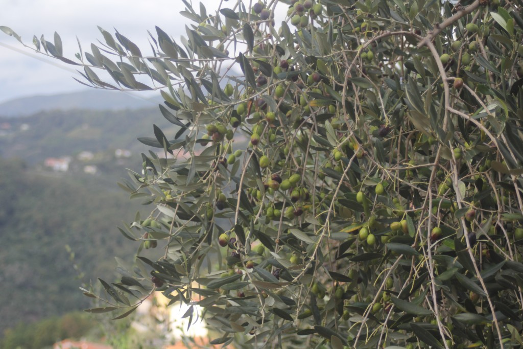 The olives of Italy